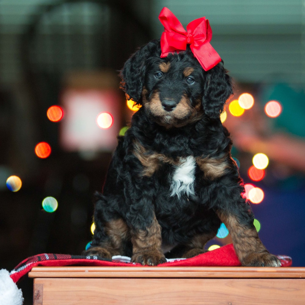 A small black and brown dog, wearing a red bow on it's head, is sat on a christmas stocking in front of some lights