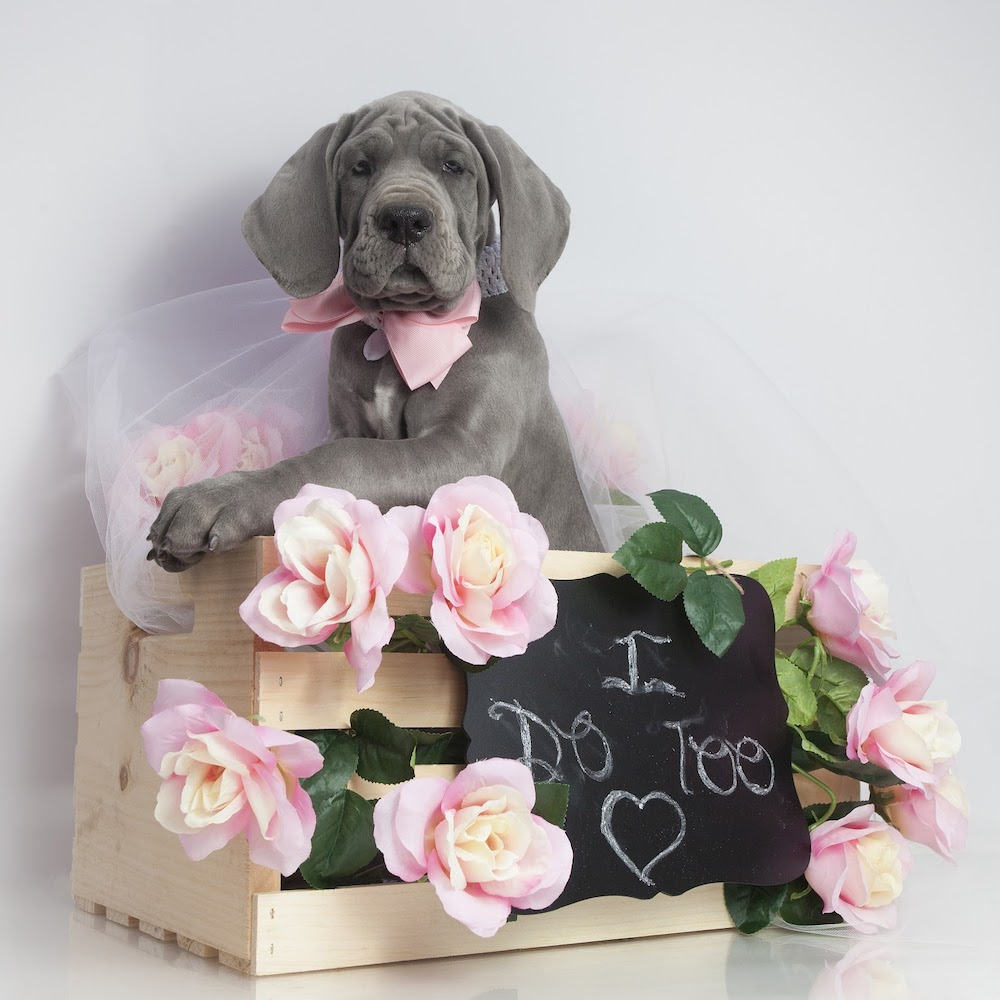 "A grey dog, with a pink bow, sat in a wooden crate surrounded by pink flowers and a blackboard with the words ""I do too"" written"