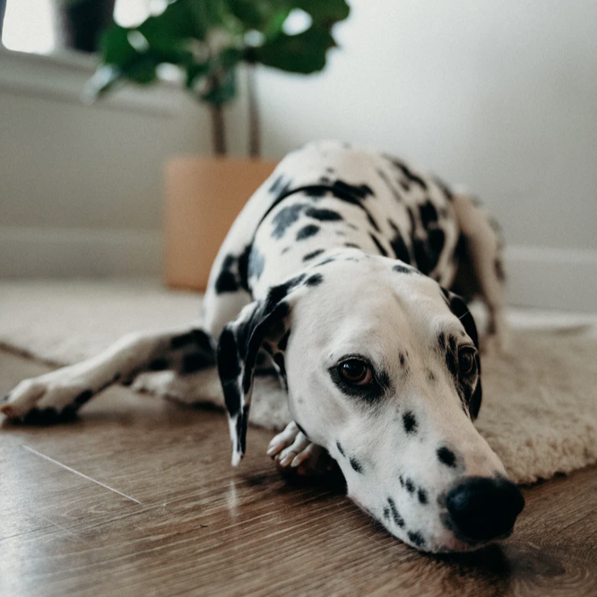 A calm dalmation laying on a carpet - Wellness and self-care - K9 Nation cares