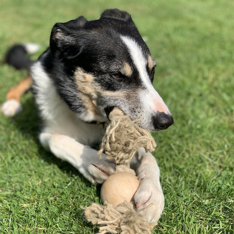 The environment and your dog - A dog lying in the grass with a chew toy