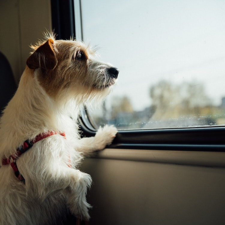 Pet Travel - A dog looking out of a train window